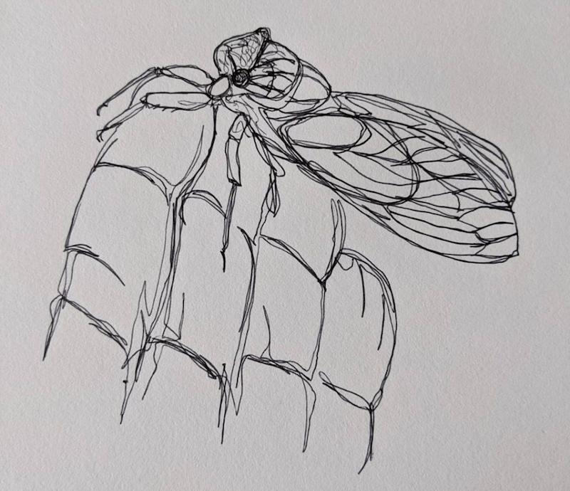 nature sketch cicada line drawing