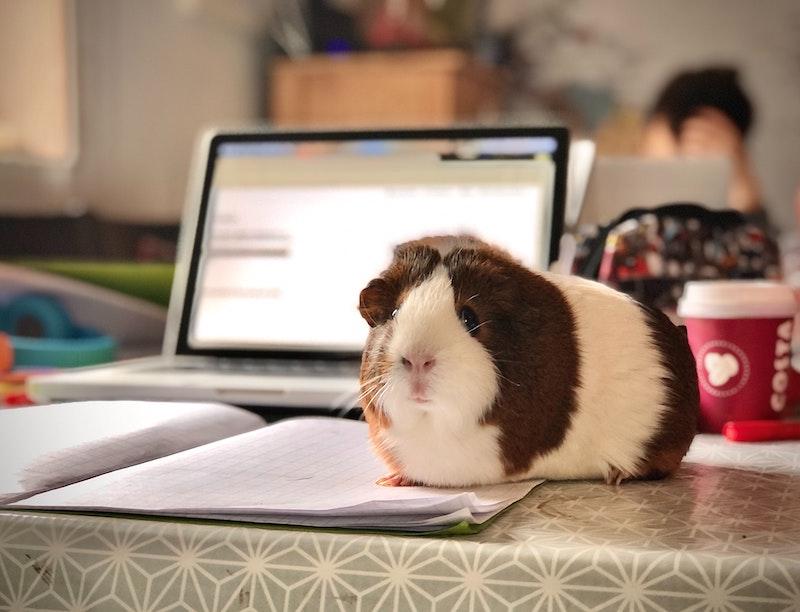 guinea pig home school