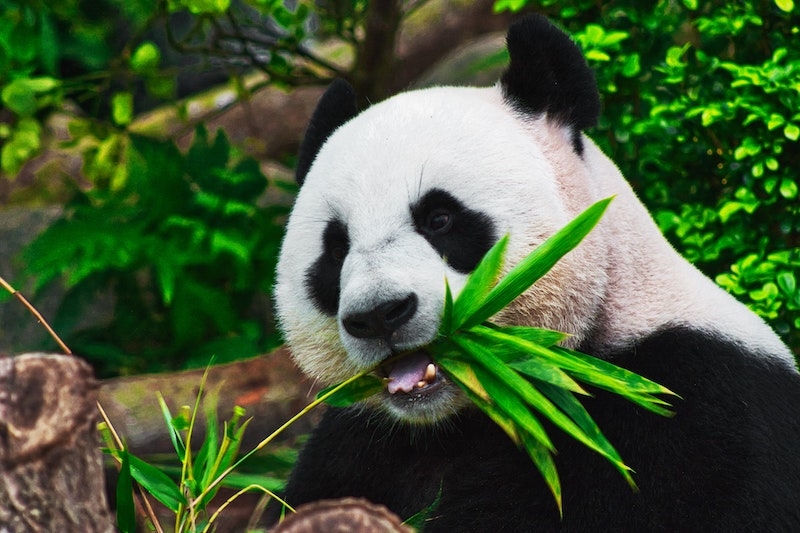 panda chewing on bamboo
